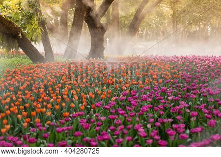 Colorful Tulips On Windy Spring Day. Tulip Flower. Beautiful Tulips In Tulip Field At Spring Day. Co