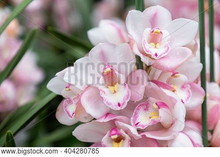 Cymbidium Orchid. Orchid Flower In Orchid Garden At Spring Day. Orchid Flower For Design. Beautiful