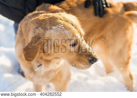 Winter Portrait Of Young Golden Retriever At Evening Sunny Winter.closeup Portrait.