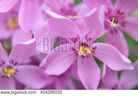 Colorful Blooming Pink Creeping Phlox (phlox Subulata Or Mountain Phlox). Macro Shot Of A Spring Flo