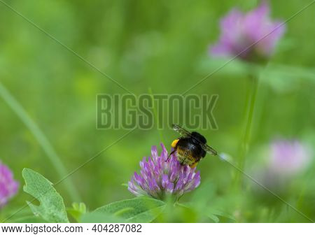 Bumblebee Sits On A Red Clover Flower. Bumblebee Collecting Pollen On A Meadow Flower, Furry Bumbleb