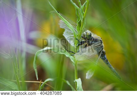 Yellow Dragonfly Sympetrum Danae Sulzer Sits On The Grass. Green Meadow In Spring Or Summer With Gra