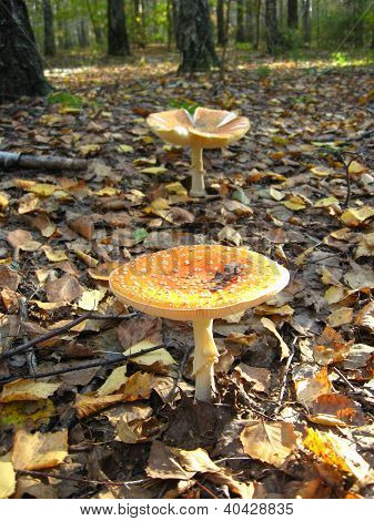 a pair of beautiful red fly agaric i