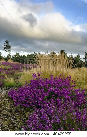 Bell Heather And Grasses