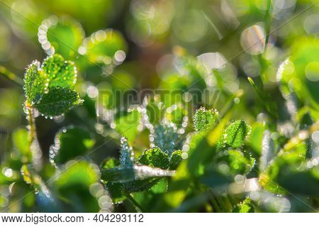 Clover In The Morning Dew Drops.the Natural Background. Beautiful Green Grass On The Background Of T