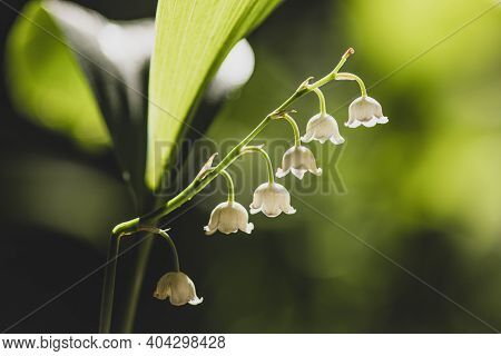 Blossoming Lily Of The Valley In Forest. Lily-of-the-valley. Convallaria Majalis.spring Background.