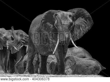 Herd Of Elephants On The Chobe River In Chobe National Park In Black And White, Botswana