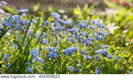 Meadow Plant Background: Blue Little Flowers - Forget-me-not Close Up And Green Grass. Shallow Dof