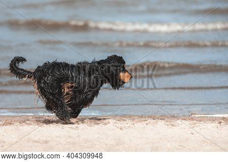 Black English Cocker Spaniel Running Fast And Jumping On Sand At Sea Coast. Active Dog At Nature.