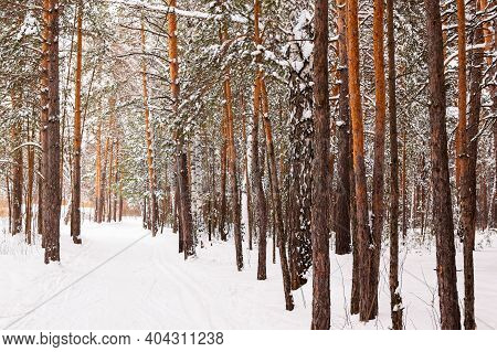 Winter Road In A Snowy Forest, Tall Trees Along The Road. There Is A Lot Of Snow On The Trees. Beaut