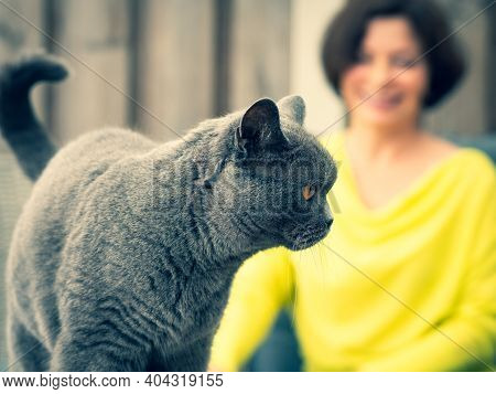 British Shorthair Cat, Coloring