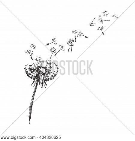 Dandelion, Flying Seeds Of Dandelion Hand Drawn Illustration Isolated On White Background