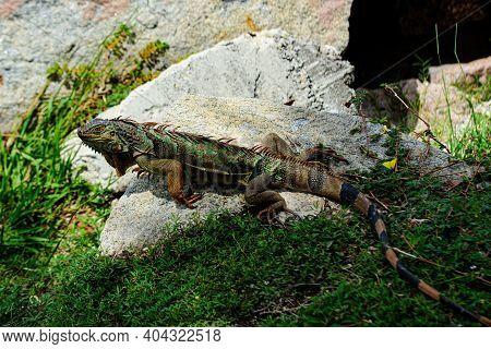 American Iguana Is A Lizard Reptile In The Genus Iguana In The Iguana Family. And In The Subfamily I