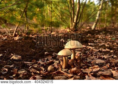 Birch Bolete. Edible Brown Cap Boletus Among The Grass And Moss In Autumn Forest. Awesome Fungus Asp