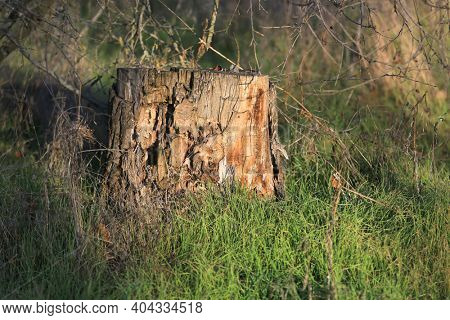 old wooden dry stump among green grass