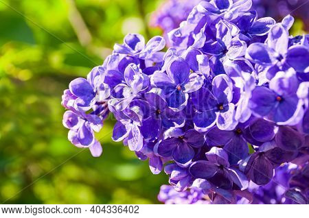 Flower landscape. Spring lilac flowers, spring background with lilacflower blooming in the garden. Selective focus at the central flowers, flower background, flower nature