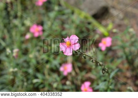 Pink Rock Rose Hybrid - Latin Name - Helianthemum Hybrids