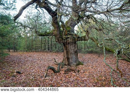 old leafless oak tree in forest