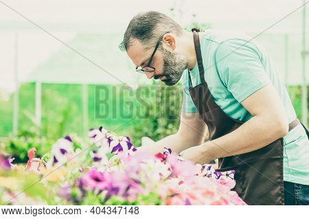 Bearded Gardener Working With Plants In Greenhouse. Concentrated Grey-haired Man In Black Apron Grow