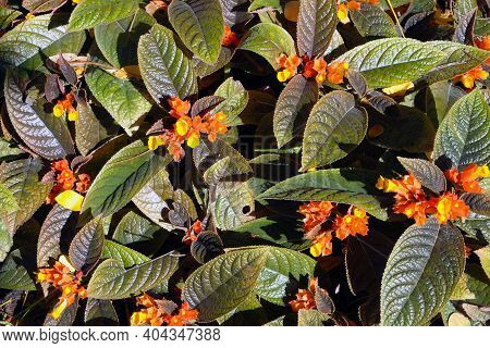 Top View Farm Of Orange And Yellow West Indian Lantana Flower And Green Leaves