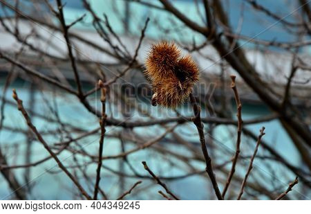 Deciduous Tree, Typically Between Tall But May Reach  Tall With A Spread Of  Or More; Young Trees Vi
