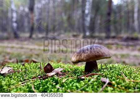 White Mushroom In Forest In Autumn Season. Big Boletus Grows In The Wildlife Against The Background
