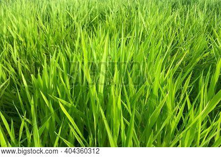 Ruzi Grass For Feeding Animal, Brachiaria Ruziziensis