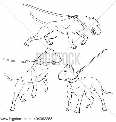 Pit Bull Terrier With A Collar. Dog On A Leash. Outlines Illustration. Vector Illustration On A Whit