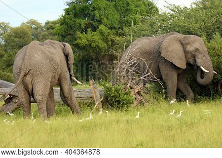 The African Bush Elephant (loxodonta Africana), Two Large Males In The Okavango Delta.