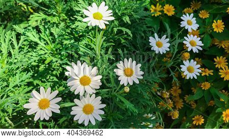 White Argyranthemum Frutescens Or Paris Daisy Marguerite