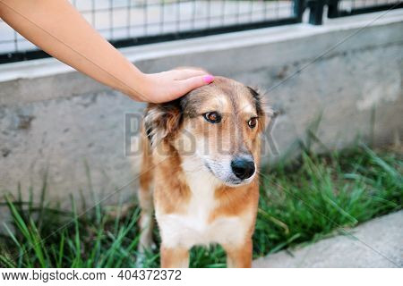 Owner Petting Dog. The Hand Of The Owner Of Petting Their Dog In The Garden. Rough Collie Dog With H