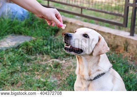 Owner Feed Dog. The Hand Of The Owner Of Feeding Their Dog In The Garden. A Yellow Labrador Retrieve