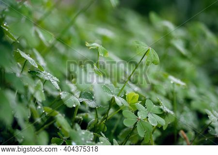Thick Clover Forest At Dawn With Dewdrops