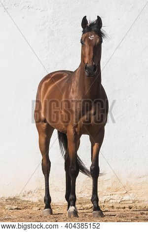 Beautiful Brown Gelding Thoroughbred Standing On The Sand In Freedom With White Background In Front