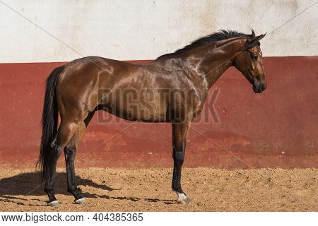 Beautiful Brown Gelding Thoroughbred Standing On The Sand In Freedom