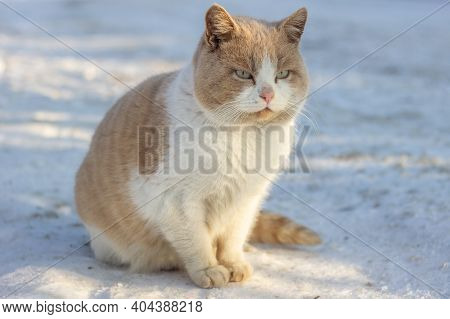 Close Up Of Red Beautiful Fluffy Homeless Cat Sits On The Snow In Winter. Animal Welfare Concept, An