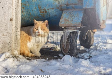 Red Beautiful Fluffy Homeless Cat Sits  Near The Trash Can In The Garbage On The Snow In Winter. Ani