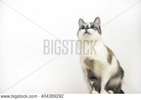 A Spotted Cat On A White Background. A Beautiful Tricolor Kitten. A Mongrel Cat With Blue Eyes.