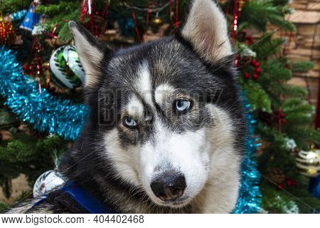Husky. Close-up Portrait Of A Dog Breed Husky On The Background Of The Christmas Tree.
