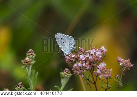The Holly Blue (celastrina Argiolus) Is A Butterfly That Belongs To The Lycaenids Or Blues Family An