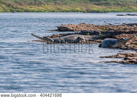 Agra, Uttar Pradesh, India - February 18, 2011: Chambal River. Gharial Crocodiles Looking Out Over B