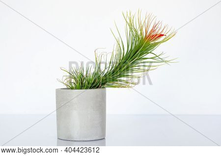 Air Plant - Tillandsia Funckiana With Red Color Flower Plants In Cylinder Pot.
