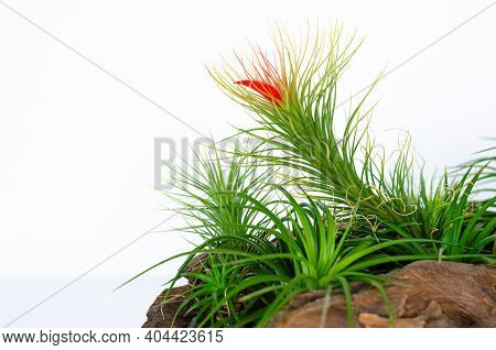 Air Plant - Tillandsia Funckiana With Red Color Flower Plant In Wooden Log.