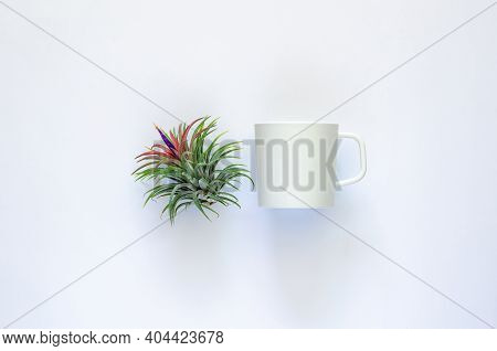 Air Plant - Tillandsia With Its Flower And Coffee Cup On White Background.