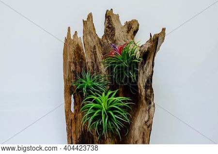 Air Plant - Tillandsia With Its Flower Plants In Wooden Log On White Background.