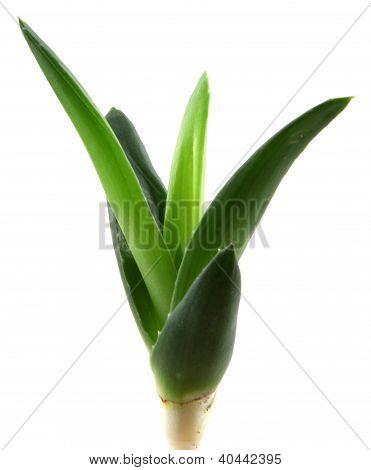aloe vera leaves isolated on white background
