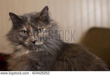 Indoor, Longhair Grey Cat Staring Curiously Toward The Camera