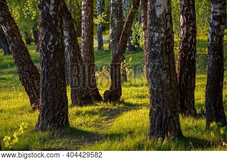 Evening View Of A Picturesque Birch Grove. Pastoral Landscape