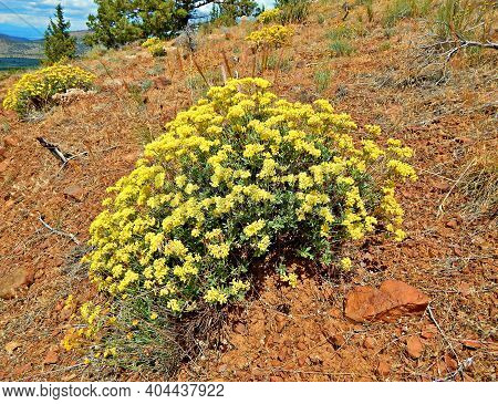 High Desert Yellow - Golden Wildflowers On A Hillside Along Road 57 In The Crooked River National Gr