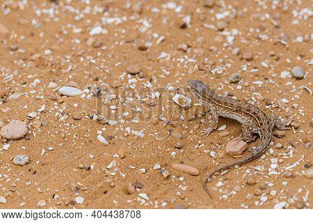 Steppe Runner Lizard Or Eremias Arguta On Sand.